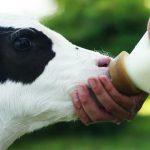 فروش گوساله شیری هلشتاین
